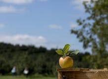 Apple στο κλουβί στον οπωρώνα μήλων Στοκ εικόνες με δικαίωμα ελεύθερης χρήσης