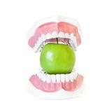 Apple στο οδοντικό πρότυπο σαγονιών Στοκ φωτογραφίες με δικαίωμα ελεύθερης χρήσης