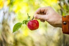 Apple στο χέρι του ατόμου στον κήπο φθινοπώρου Στοκ Εικόνες