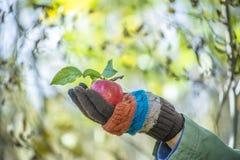 Apple στο χέρι man's που ντύνεται στα μάλλινα γάντια Στοκ Εικόνες