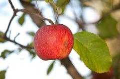 Apple στο atree Στοκ Εικόνες
