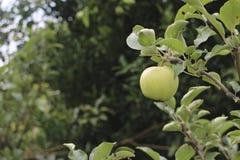 Apple του Μαλάνγκ, ανατολική Ιάβα Στοκ Φωτογραφίες