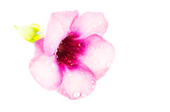 Apple του λουλουδιού του Περού Στοκ φωτογραφία με δικαίωμα ελεύθερης χρήσης