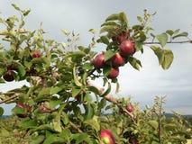 Apple, το φθινόπωρο, στον οπωρώνα, στο Κεμπέκ Στοκ εικόνα με δικαίωμα ελεύθερης χρήσης