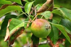 Apple των reglindis ποικιλιών που κρεμά στο δέντρο Στοκ Φωτογραφία