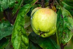 Apple после дождя Стоковое Фото