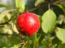 Apple. A red apple in a tree Stock Photo