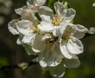 Apple花 图库摄影