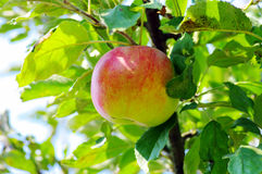 Apple Royalty Free Stock Images