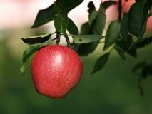 Jonagold apple Royalty Free Stock Photo
