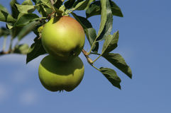 Apple. An apple hanging in the tree Stock Photography