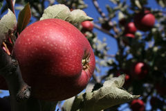 Apple. Orchard, Turkey, ripe s in the time of assembly Royalty Free Stock Photo