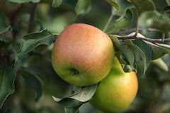Apple. Ripe apple harvestRipe apples and it is time to harvest Stock Image