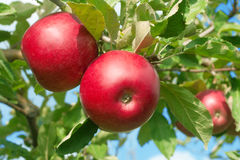 Apple. Three red apple on tree Stock Photography