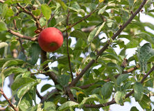 An apple. Red delicious royalty free stock photo