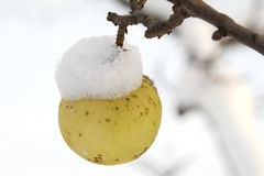 Apple. Hanging from a tree branch under snow hat Stock Photos