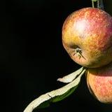 Apple 15 Στοκ εικόνα με δικαίωμα ελεύθερης χρήσης