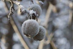 雪Apple 免版税图库摄影