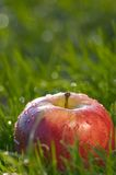 Apple. Luscious red delicious apple in wet green grass stock images