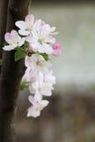 Λουλούδια καβούρι-Apple Στοκ Εικόνα