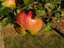 Apple Imagens de Stock Royalty Free