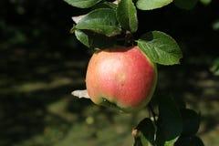 Apple Royalty-vrije Stock Fotografie