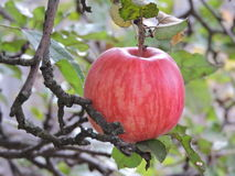Apple Zdjęcia Royalty Free