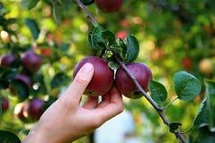 Apple royaltyfri foto