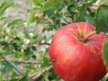 Apple Stock Foto