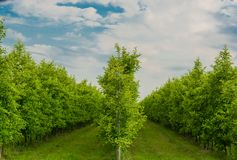 Apple-aanplanting Stock Fotografie