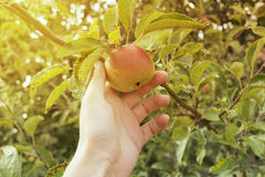 Apple al sole nel giardino Fotografie Stock