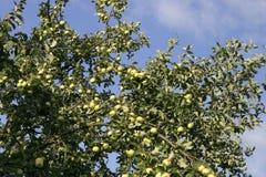 Apple-albero 1 Fotografia Stock Libera da Diritti