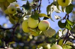 Apple-albero Fotografie Stock Libere da Diritti