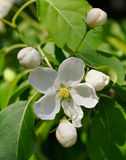 Apple-albero i fiori. Immagine Stock Libera da Diritti
