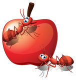 An apple with ants Stock Photo