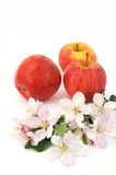 Apple and aplle-tree blossoms Royalty Free Stock Images