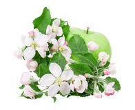 Apple and apple blossom Royalty Free Stock Photos