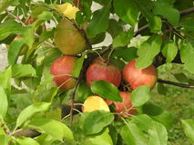Apple in apple tree. Apples in apple tree on soft green leaves Royalty Free Stock Photo