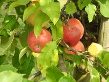 Apple in apple tree. Apples in apple tree on soft green leaves Royalty Free Stock Photography