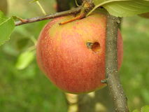 Apple in apple tree. Apples in apple tree on soft green leaves Royalty Free Stock Images
