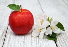 Apple and apple tree blossoms Royalty Free Stock Image