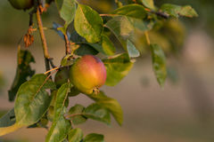 Apple on an apple tree branch Royalty Free Stock Photo