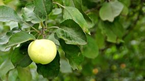 Apple on the apple tree on the breeze stock video