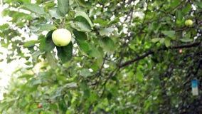 Apple on the apple tree stock video footage