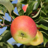 Apple on an apple tree in summer Royalty Free Stock Image