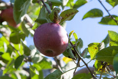 Apple on the apple tree in the sunny day Royalty Free Stock Photography