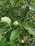Apple. Tree, wood, green, liscie, licie royalty free stock photo