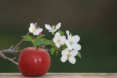Apple with appleblossoms. A red apple on wood with apple tree blossoms and a blurred background stock photography