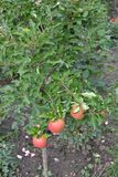 Apple tree. Agriculture. Garden. Farm. Apple. Apples average maturity. Fruits apple on the branch. Apple tree. Agriculture. Garden. Farm stock images