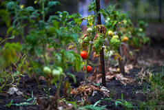 Apple, apples, plums, tomatoes, grapes, strawberries. How to grow garden plants in summer. Stock Photos
